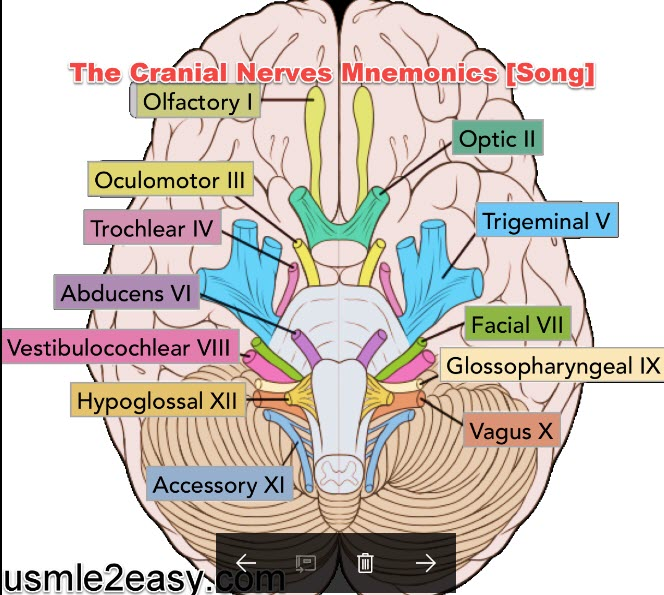 How to Remember The Cranial Nerves Mnemonics