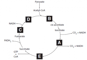 rate-limiting enzyme of glycolysis and activates the rate-limiting enzyme of fatty acid synthesis
